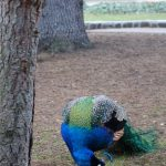 Peacock in Beacon Hill Park. Photography by Adele J. Haft, adelehaft@gmail.com